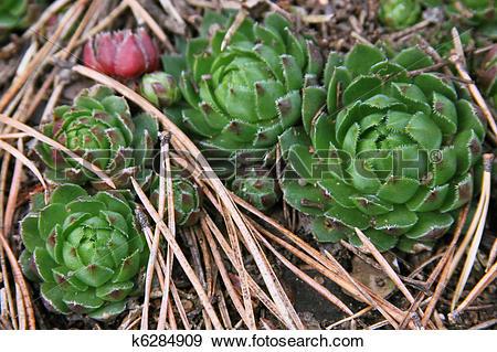 Stock Photograph of Saxifraga (landscape design) k6284909.
