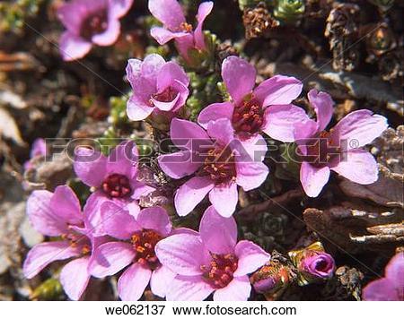 Picture of Purple Saxifrage (Saxifraga oppositifolia). Val d?Aosta.