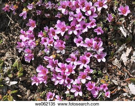 Stock Image of Purple Saxifrage (Saxifraga oppositifolia). Val d.