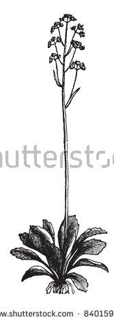 Saxifraga Stock Vectors & Vector Clip Art.