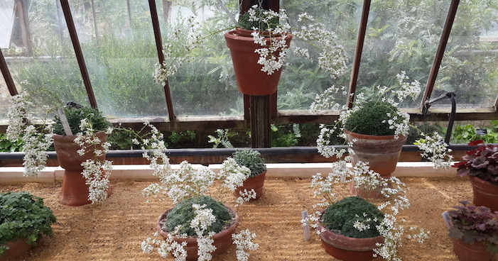 Plant Communication with Saxifraga cochlearis (Stone Breaker.