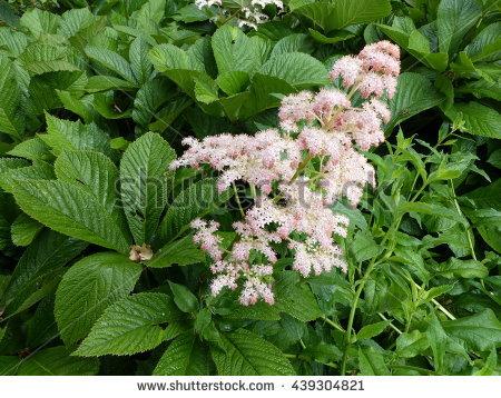 Saxifragaceae Stock Photos, Royalty.