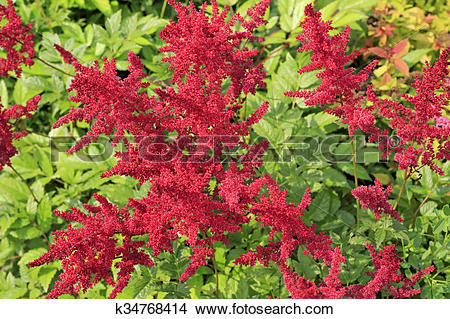 Stock Photo of Astilbe within the family Saxifragaceae k34768414.
