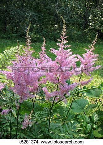 Stock Photo of Astilbe, family Saxifragaceae k5281374.