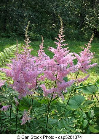 Stock Photo of Astilbe, family Saxifragaceae csp5281374.