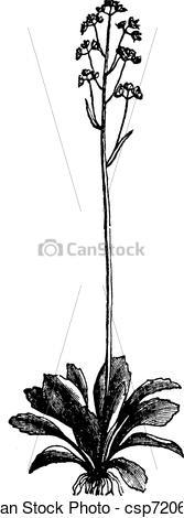 Vector Clip Art of Saxifrage Virginia (Saxifraga virginiensis.