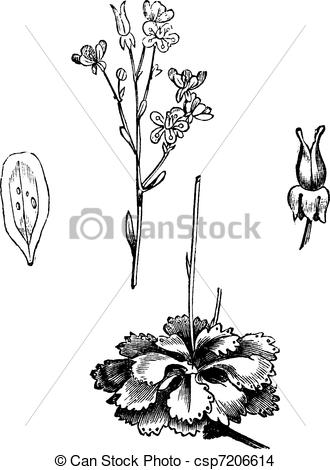 EPS Vector of Shadow Saxifrage (Saxifraga umbrosa), vintage.