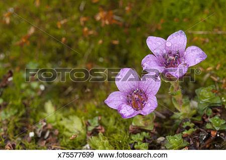 Stock Photograph of Purple saxifrage x75577699.