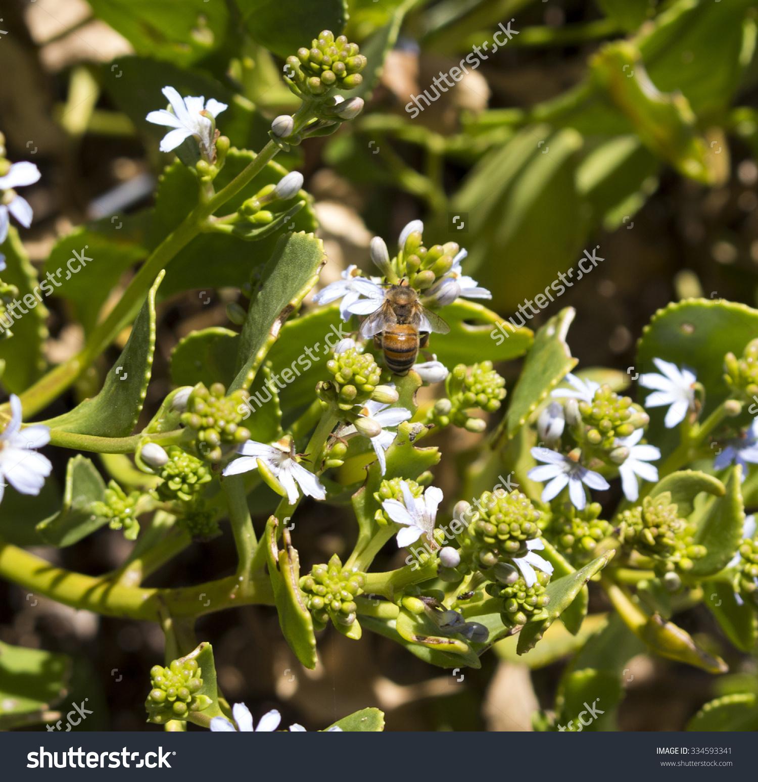 West Australian Native Plant Shining Fan Stock Photo 334593341.