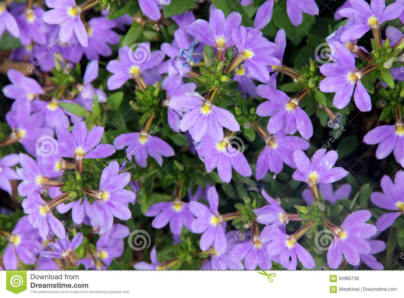 Scaevola Aemula `Aussie Crawl`, Fan Flower Stock Photo.