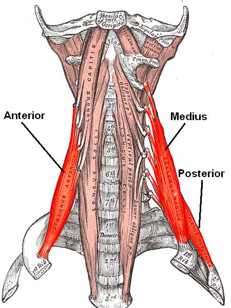 Scalene muscles.