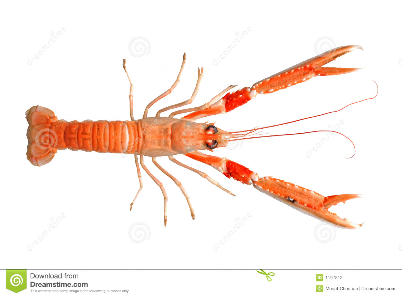 Scampi Stock Illustrations.