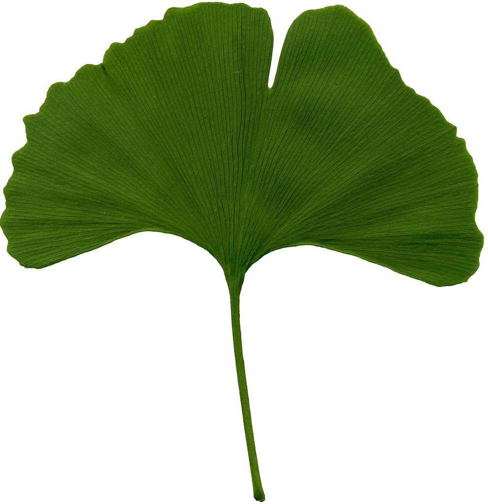 File:Ginkgo biloba scanned leaf.jpg.