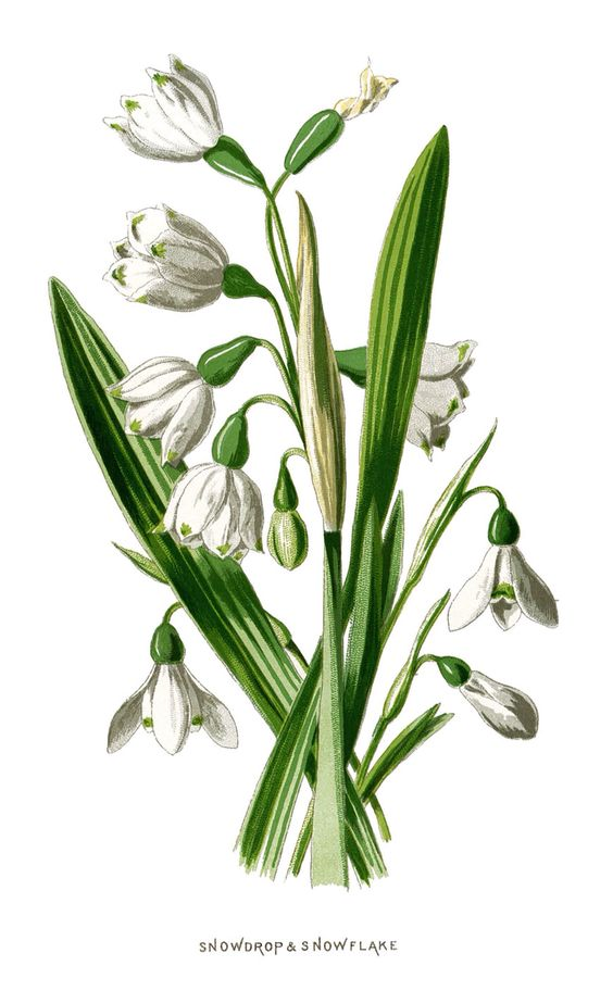 Snowdrop and Snowflake flower, from Familiar Garden Flowers by F.