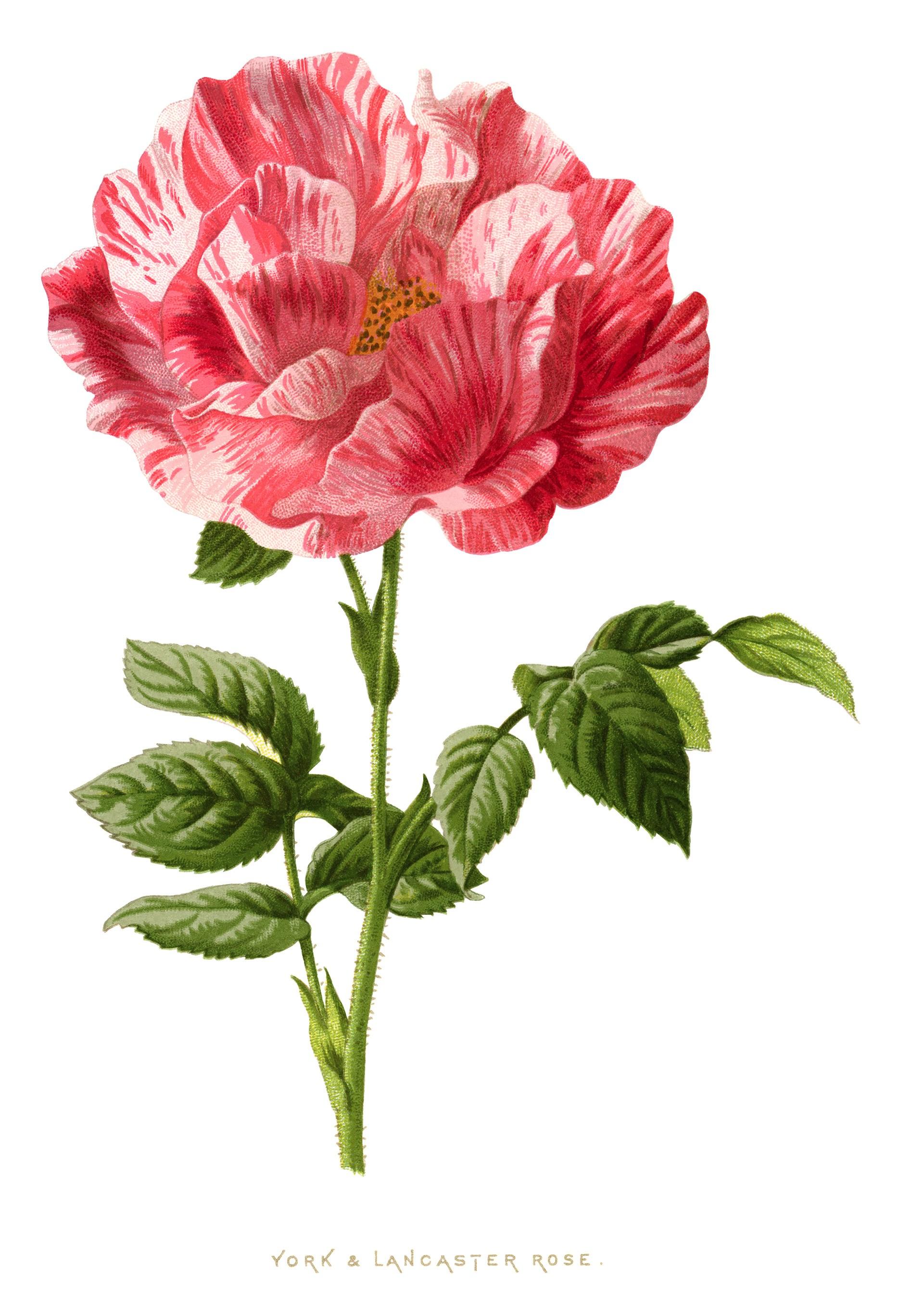 pink rose clip art, York Lancaster rose, vintage flower.