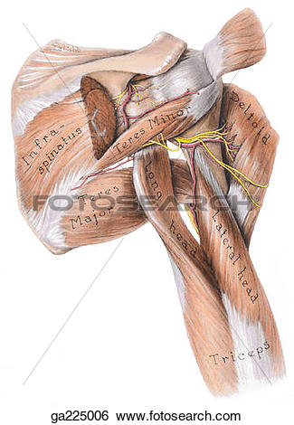 Stock Illustration of Posterior view of the dorsal scapular and.