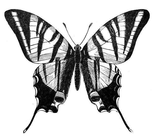 Scarce Swallowtail Clip Art, Vector Images & Illustrations.