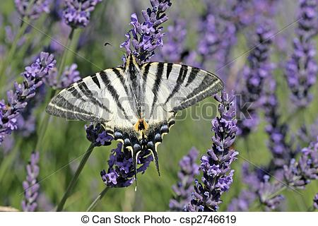Stock Photographs of Scarce Swallowtail on Lavender Bloom.