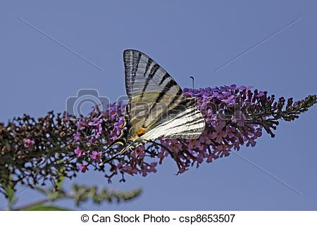 Picture of Scarce Swallowtail butterfly in summer, Iphiclides.