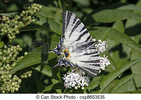 Stock Images of Scarce Swallowtail butterfly in summer, Iphiclides.