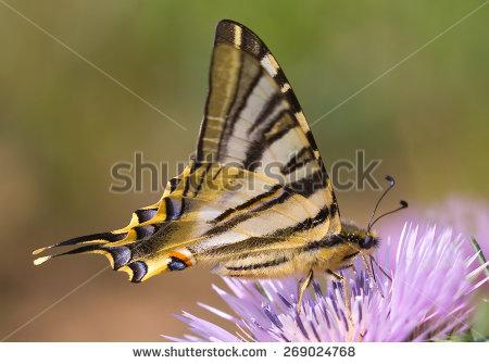 scarce Swallowtail.