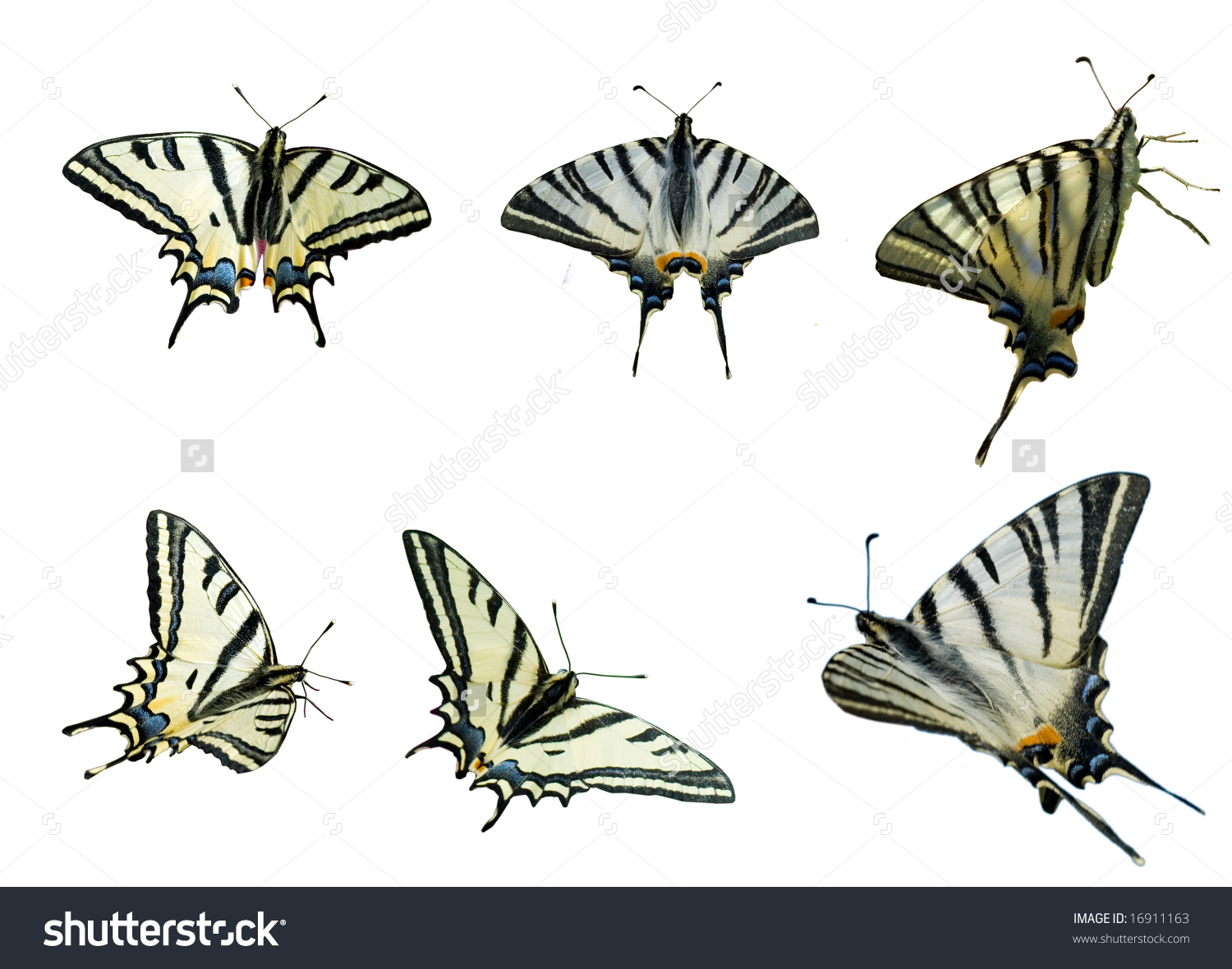 Two Species Of Swallowtails. Southern Swallowtail (Papilio.