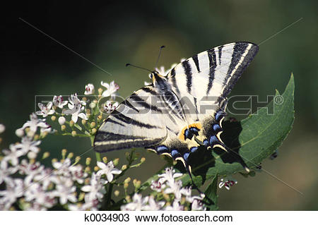 Stock Photo of Scarce Swallowtail k0034903.