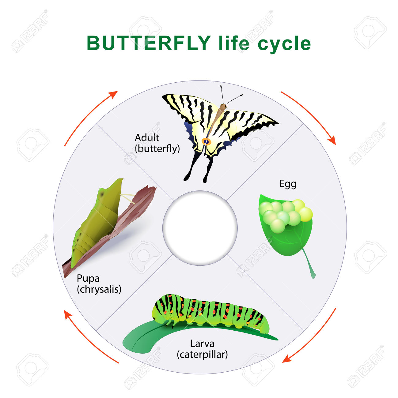 Butterfly Life Cycle. From Caterpillar To Butterfly. Metamorphosis.