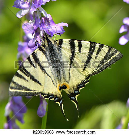 Pictures of butterfly in natural habitat (scarce swallowtail.