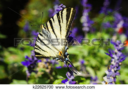 Stock Photography of Scarce swallowtail butterfly k22625700.