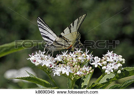 Stock Image of Scarce Swallowtail butterfly k8690345.