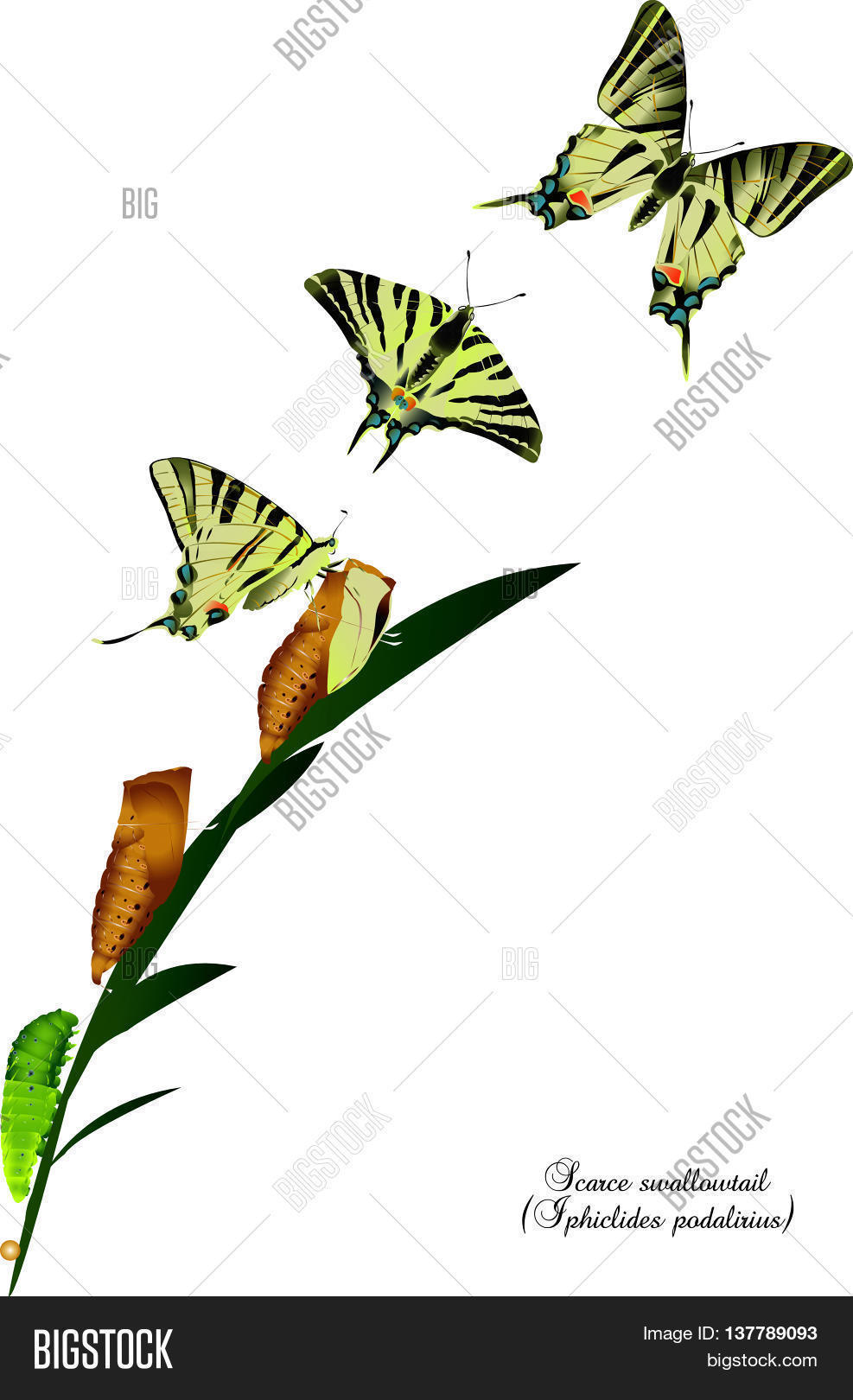 It is illustration of life cycle of scarce swallowtail. Stock.