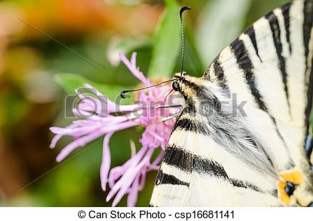 Stock Photo of Scarce Swallowtail Butterfly Macro Details.
