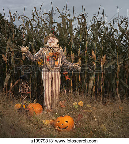 Picture of Scarecrow and pumpkins in a corn field. Halloween theme.