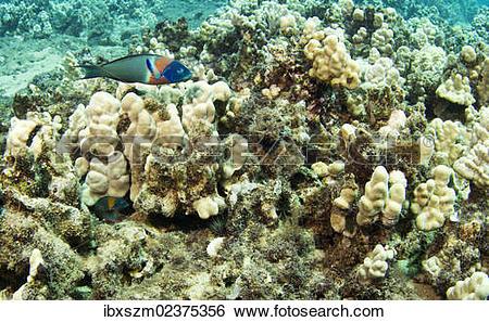 """Stock Images of """"Parrotfish (Scarinae), Kahekili Beach Park."""