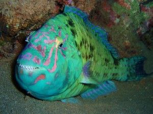 Parrotfish on a Night dive at Kapalua Bay in Maui. Looks like he.