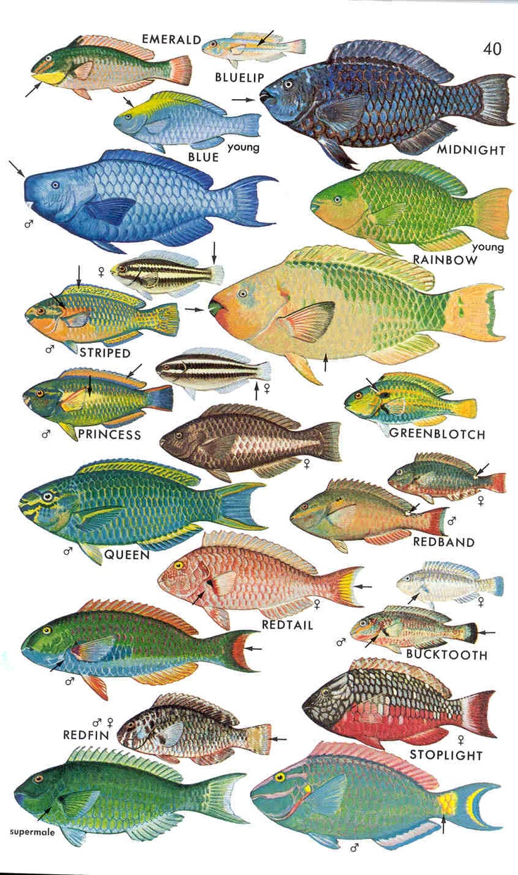 1000+ images about Parrot fish on Pinterest.
