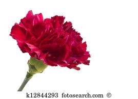 Scarlet flower Illustrations and Stock Art. 183 scarlet flower.