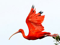 Scarlet Ibis Clipart.