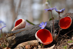 Red Mushroom Growing Ground Stock Photos, Images, & Pictures.