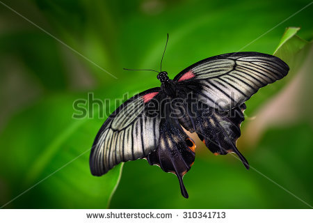 Swallow Tail Butterfly Stock Photos, Royalty.
