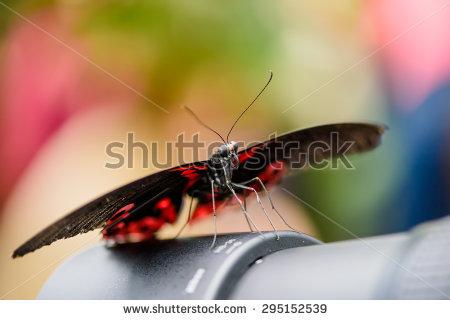 Papilio Rumanzovia Stock Photos, Royalty.