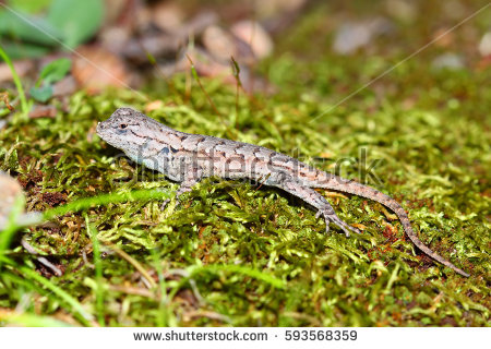 Fence Lizard Sceloporus Undulatus Shawnee National Stock Photo.