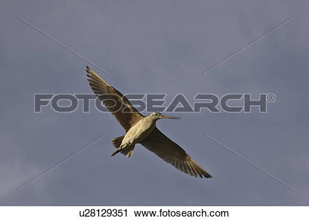 Stock Photography of canada, godwit, saskatchewan, scenic, flight.