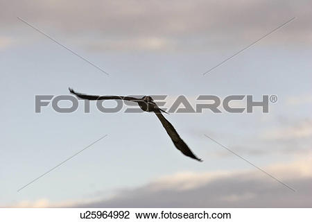 Stock Photo of saskatchewan, tern, southern, scenic, flight, black.