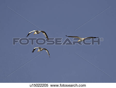 Stock Image of saskatchewan, white, scenic, flight, pelicans.
