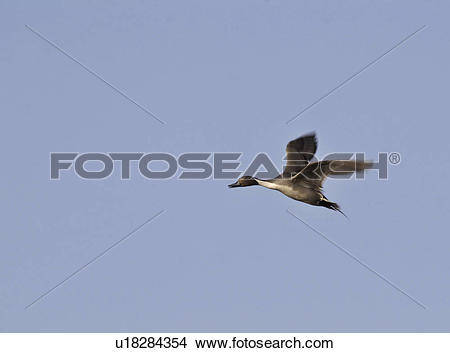 Stock Photo of saskatchewan, pintail, scenic, flight, duck.