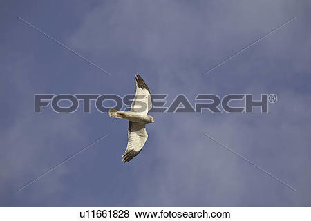 Pictures of saskatchewan, northern, scenic, flight, harrier, male.