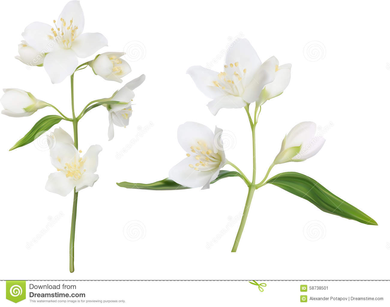 Beautiful Night Blooming Jasmine On White Background Stock Vector.