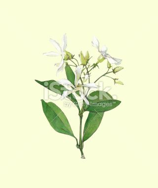 jasmine flower clip art.